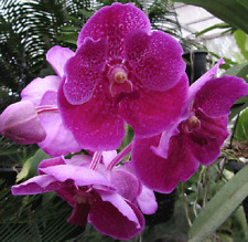 Vanda Fuchs Delight X Dr Anek flowers seedling orchid plant in 100mm hanging pot