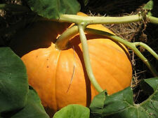 25 BIG MAX (100 Pound!) PUMPKIN Cucurbita Maxima Seeds