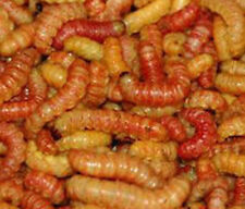 50 BUTTERWORMS REPTILE FOOD LIVE BAIT WORM ICE FISHING GRUB Mixed Sizes