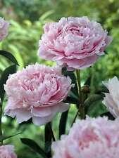 Pack x1 Peony Paeonia Lactiflora 'Sarah Bernhardt' Bare Root Perennial
