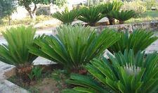 10 semi di CYCAS bellissima pianta ornamentale,.....