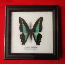 REAL COMMON BLUEBOTTLE BUTTERFLY TAXIDERMY INSECT PICTURE FRAME ENTOMOLOGY