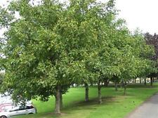 1 x Common Walnut Trees - Juglans Regia - 5-6ft - Collection only