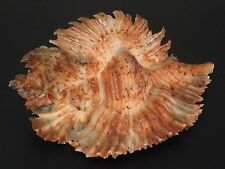 Hard2Get Beauty...(Murex) PTERYNOTUS MIYOKOAE w/o~63mm~Philippine SEASHELL