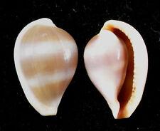 Formosa/shells/Margovula bimaculata 15.5mm.big