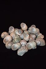 "Mexican Turbo Sea Shell Beach Craft Hermit Crab 1 1/2"" - 2 1/2"" (24 PCS )"