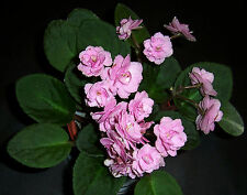 african violet Harmony's Pinkstone plant in pot