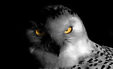 Framed Print - Black & White Owl with Yellow Eyes (Picture Poster Animal Bird)