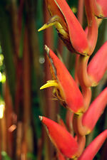Heliconia Harlingii - Lipstick Heliconia - Rare Tropical Plant Seeds (5)