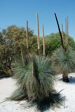 BLUE GRASS TREE (Xanthorrhoea glauca) 20 seeds