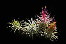 10-Pack | Ionantha Assortment | Air plants Tillandsia [Reg. $25]