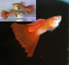 12 Super Nice Red Guppy Fry! Fast Shipping!