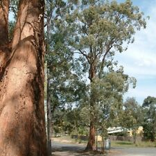 TALLOWWOOD (Eucalyptus microcorys) 100 seeds