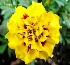 MARIGOLD -Tagetes Patula Nana Aurora Yellow Fire - Double Flower - 300 seeds
