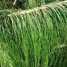MEXICAN WEEPING PINE (Pinus Patula ) 50+EXTRA seeds (#192)