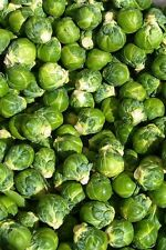 Brussel Sprouts- 100 Seeds - 50 % off sale