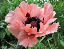 Oriental Poppy Queen Alexandra Seeds Montana Hardy Attract Bees