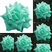 200pcs Mint Green Rose Seeds Butterflies Love Garden Flower Rare Plant Seeds hs