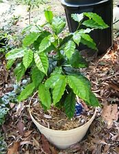 Coffee Bean Plant Seeds - DWARF CATURA / ARABICA - Tropical Tree - 50 Seeds