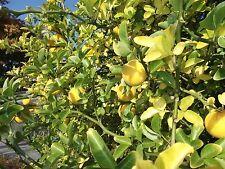 3-blättrige Garten-Orange: Absolut winterharte Zitrusfrucht / super Duft / Samen