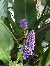 blue ginger plant 3 rhizomes/bulbs beautiful and easy to grow.