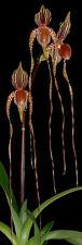 Híbrida Paphiopedilum Prince Edward de York Slipper Orquídea