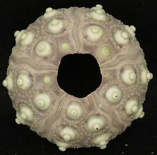 TsVs Knobby Sputnik Sea Urchin Phyllacanthus imperialis 83mm