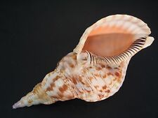 "Very Cool...CHARONIA TRITONIS~285mm/11 1/4""~Fiji~TRITON TRUMPET SEASHELL"
