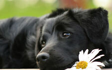 Incorniciato stampa-riposo Nero Labrador Puppy (PICTURE POSTER DOG ANIMALE ART)