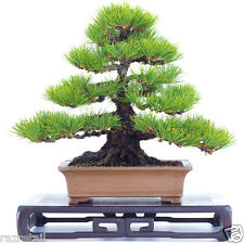 Bonsai-True-Japanese-Black-Pine-Tree-Seeds-With-Free-Growing-Kit