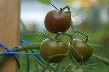 CHOCOLATE CHERRY  Tomato       20 seeds       OP, non-GMO, organic