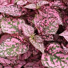 Hypoestes Confetti Rose Easily Grown Foliage House/Shade Plant Colorful