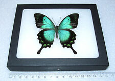 REAL FRAMED BUTTERFLY BLUE GREEN INDONESIAN PAPILIO LORQUINIANUS