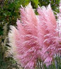 PAMPAS GRASS PINK - 50+ RARE SEEDS (ORNAMENTAL GRASS