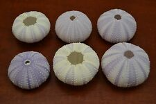 6 PCS BULK PURPLE SEA URCHINS SEA SHELL BEACH WEDDING NAUTICAL #7397