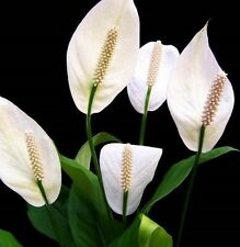 2 x PEACE LILY Spathiphyllum white flowers popular indoor plants in 60mm pots
