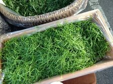 MINUTINA STAR HERB NEW PETITE GREEN TENDER SALAD LEAF MICROGREEN 100 SEEDS