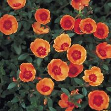 50+ STOPWATCH ORANGE  PORTULACA MOSS ROSE SEEDS ANNUAL GROUNDCOVER FLOWER SEEDS