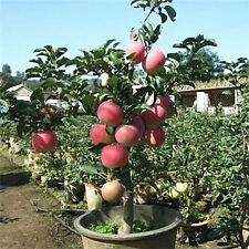 20x Bonsai Apple Tree Seeds Garden Outdoor Fruit Plant Red Fuji Bulbs Hot Sale