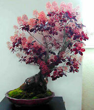 Smoke Tree Bush - Cotinus coggygria - 10 seeds BONSAI - SOW ALL YEAR