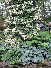 50 JAPANESE HYDRANGEA VINE White Flower Schizophragma Hydrangeoides Seeds + Gift