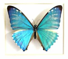 ONE REAL BUTTERFLY BLUE MORPHO ZEPHYRITES UNMOUNTED WHOLESALE WINGS CLOSED