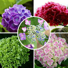100 seeds / pack Mix color amazing Hydrangea flower seeds