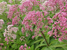 Joe Pye Weed Seeds - Late Bloomer til Hard Frost - Huge Flowers - 50 Seeds