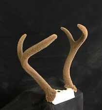 VELVET deer antlers horns horn shed cabin decor antler interior design taxidermy