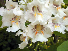 Catalpa speciosa (30 graines/seeds )