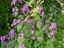 ORGANIC YOUNG NORFOLK COMMON HONESTY,COTTAGE GARDEN PLANT,LUNARA ANNUA