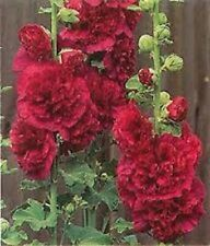 30+ Red Double Hollyhock  Flower Seeds / Alcea / Perennial