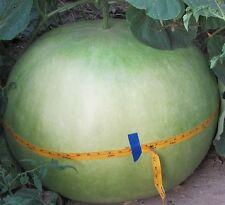 AFRICAN BUSHEL BASKET GOURD Lagenaria siceraria 12 ORGANIC seeds up to 100 lbs