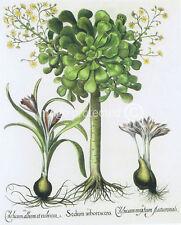 Houseleek Basilius Besler Vintage Botanical 11x17 Poster